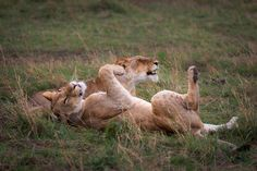 Lazy Lions Masai Mara Kenya  Animals photo by drjhnsn http://rarme.com/?F9gZi