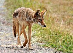 World Championship Coyote Calling Contest
