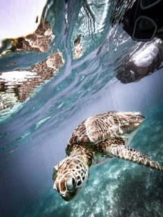 Here is how you can swim and snorkel with turtles for CHEAP and without a guide in the gorgeous Akumal, Mexico 2018 Travel Deals, Travel Guides, Travel Destinations, Akumal Mexico, Sea Turtles, Oceans, Snorkeling, Adventure Travel, Travel Inspiration