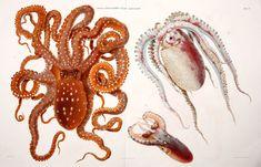 I Cefalopodi viventi nel Golfo di Napoli (sistematica) Berlin :R. Friedländer & Sohn,1896. biodiversitylibrary.org/page/35424286  Amazing Mollusca from the Gulf of Naples biodiversitylibrary.org/page/35424286 #bhlpod Octopus macropus, Tremoctopus violaceus, & Ocythoe tuberculata, oh my!