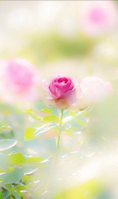 Rose in the mist Flower Wallpaper, Iphone Wallpaper, Pink Roses, Pink Flowers, Paper Flowers, Dame Nature, Rose Cottage, My Flower, Belle Photo