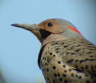 Le CORDEM (Club d'ornithologie de la région des Moulins) fait la promotion du développement et de la pratique du loisir ornithologique dans notre région.