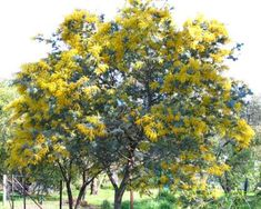 Acacia baileyana Purpurea (Cootamundra Wattle purple form) - tubestock for sale Garden Trees, Trees To Plant, Acacia Baileyana, Paper Light, Clay Soil, Perfect Plants, Small Trees, Flowering Trees, Drought Tolerant