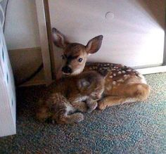 During a California wildfire rescue, workers ran out of crates to place rescued animals, forcing them to put a fawn and a bobcat kitten in an office together. When they got back, they found that fawn and the bobcat cuddling and the pair became inseparable.