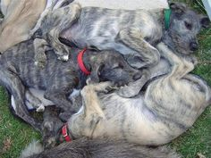 if i keep pinning wolfhounds, maybe one will magically appear at my door!