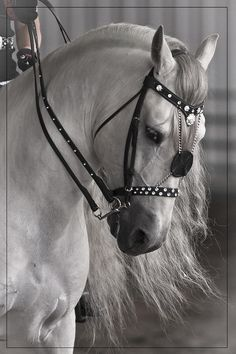 Andalusian Lusitano Lippizzaner spanish horse Piccador Vaquero Charro-these were the names on the pin when I read it, I do not know the breed.  Only that the bridle is beautiful on him and he is stunning!!