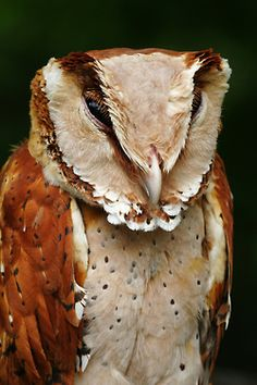Oriental Bay-Owl (Phodilus badius saturatus). A wee bit evil...