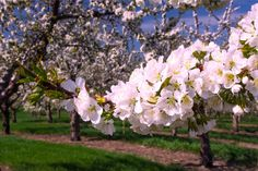 Cherry Blossom Photograph, Traverse City, Old Mission Peninsula, Cherry Farms Photo, Flowers, Fine Art, Photography, Pure Michigan, Cherries by LoveMichiganPhotos on Etsy https://www.etsy.com/listing/187239920/cherry-blossom-photograph-traverse-city