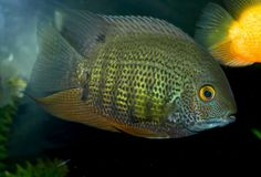 My old Green severum at 6 inches. His color was best during this time.
