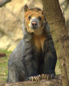Andean bear, Sweet Bandit by ucumari on Flickr.