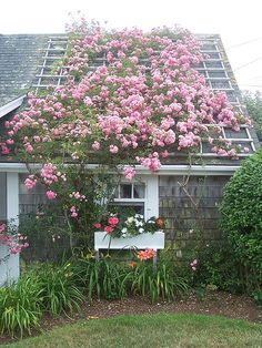 nantucket.  Why doesn't my New Dawn rose look like this???