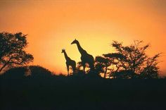 South Africa - how amazing would it be to see giraffes in the wild not the zoo! South Africa Safari, Visit South Africa, Oh The Places You'll Go, Places To Travel, Places To Visit, Travel Destinations, African Animals, African Safari, Dream Vacations