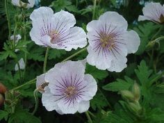 Geraium himmalayense 'Derric Cook' Storkenebb Blomstring juni - juli. 30 cm. Sol- halvskugge. (4)