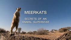 Video Documentaries: Meerkats: Secrets of an Animal Superstar