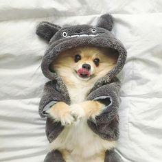 Cutie https://presentbaby.com #pomeranian