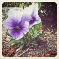Starting a new job :) Great day everyone!  #newbeginnings #purple #floweroftheday #flower #photooftheday #beauty #pretty #summer #instadaily #instagood #instapic #instaphoto #summertime #morning #goodmorning #happy