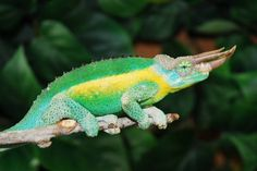 Mount Kenyan Jackson's Chameleon for Sale, Kenyan Jackson�s Chameleons for sale at FL Chams. FL Chams occasionally obtains Kenyan Jackson and offers them for sale on our site.