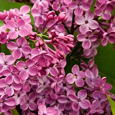 Lilacs~Star shaped reddish purple flowers appear in large dramatic clusters in early spring. Their scent is spicy sweet, the shrub reaches 6 to 8 feet tall and 5 to 6 feet wide; it takes full sun, or light shade in the hottest climates. Most lilacs bloom best in regions with winter chill.