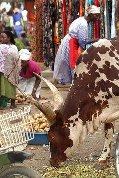 Bull at Mawa Market, Kasese, Uganda