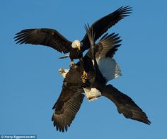 Three Eagles Lock Talons As They Plunge To The Ground