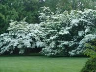 Known for their spectacular flowers that bloom from the middle of June into July, the Kousa dogwoods (Cornus kousa) at the  Polly Hill Arboretum  are a species native to eastern Asia.