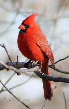 Quotes About Birds Red Bird Quotes  Red Bird  Animals  Pinterest  Bird Quotes Bird .