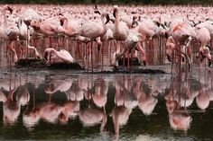 Flamingos at Lake Oloiden. Human-wildlife conflict has been a serious obstacle to wildlife conservation in Kenya Photograph: Dai Kurokawa/EPA