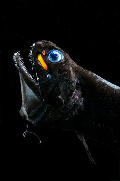 A species of dragon fish, Pachystomias microdon, that can see and emit far red light using organs, called photophores, below its eyes.