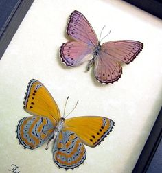 Real Butterfly African Lavender Orange Museum Display 131p