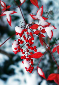 #PANDORAloves... Red berries covered in snow.
