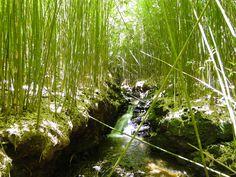 Bamboo Forest! Maui, Hawaii