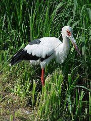 Ciconia maguari - Maguari-Storch - Maguari stork
