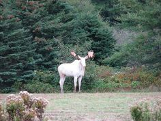 Albino Moose ~ Or as many Northeastern woodlands native Americans would call it. the Sacred White Moose. It sure does appear to look sacred! Albino Moose, Albino Gorilla, Animals Beautiful, Cute Animals, Large Animals, Moose Pictures, Moose Pics, White Moose, Deer Family