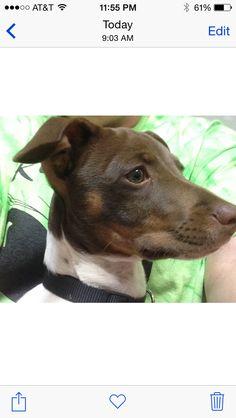 Fauntleroy Sage J Kuehny- Rat Terrier Extraordinarier!