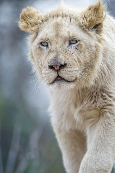 young male white lion in the Amnéville zoo, France  (by Tambako The Jaguar on Flickr)