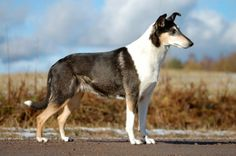Smooth Collie dog photo | Smooth Collie | Dogs