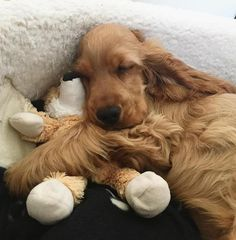 """Visit our site for more information on """"spaniel puppies"""". It is actually an exceptional area to find out more. Golden Cocker Spaniel, American Cocker Spaniel, Cocker Spaniel Puppies, Cute Dogs And Puppies, I Love Dogs, Sweet Dogs, Cockerspaniel, English Cocker, Blue Merle"""