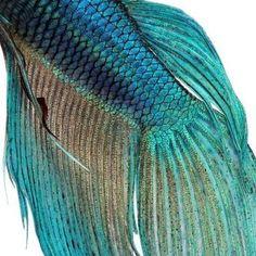 themagicfarawayttree: Close-up on a fish skin - blue Siamese fighting fish - Betta Splendens