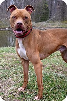 Westampton, NJ - American Staffordshire Terrier. Meet Apollo D-62687 **Pooch with Perks**, a dog for adoption. http://www.adoptapet.com/pet/12696438-westampton-new-jersey-american-staffordshire-terrier