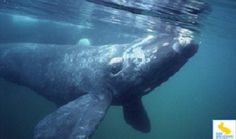 Right whales are three species of baleen whales of the genus Eubalaena: the North Atlantic right whale, North Pacific right whale, and south...