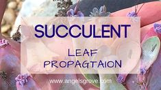 Succulent Leaf Propagation - Good pictures at each stage. Jade Succulent, Succulent Wreath, Succulent Care, Succulent Gardening, Succulent Terrarium, Container Gardening, Gardening Tips, Succulent Plants, Indoor Gardening