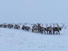 Nomadic #Nenets reindeer herders migrating on the #Yamal Peninsula, Arctic Siberia