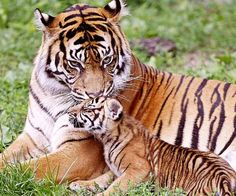 Mother tiger with cub