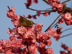 A Japanese white-eye bird and plum blossoms in Kyoto.