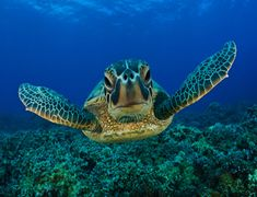 Underwater World Sea Fish Turtles Dolphins Ocean Poster 001 Giant Sea Turtle, Sea Turtles, Turtle Facts, World Turtle Day, Fauna Marina, Green Turtle, Sea Fish, Tortoises, Underwater World