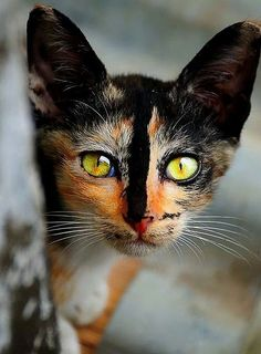 A beautiful tortoise-shell cat -- great face!