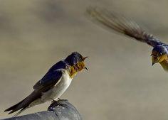 Swallow Flight by Mr Bennett Kent