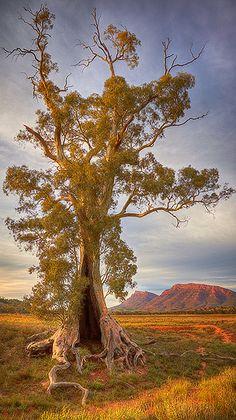 Spirit of Endurance Spirit Of Endurance - Flinders Ranges South Australia South Australia, Australia Travel, Landscape Photography, Nature Photography, Australia Landscape, Beautiful Sunrise, Tree Art, Beautiful Places, National Parks