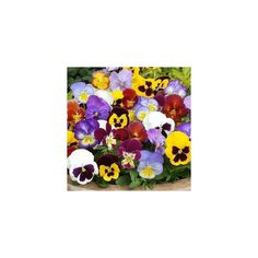 Pansy Seeds (Viola tricolor) 1,85€ Pansy Seeds Price for Package of 200 seeds. Pansy seeds can be sown directly into the garden, though most growers will use seed starting trays in order to improve the germination rate and more closely monitor temperature. If sowing outdoors, sow them in the late fall or early winter for spring blossoms or as