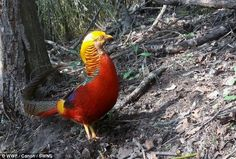 Strike a pose: A golden pheasant photographed by WWF using camera traps for International Day for Biodiversity